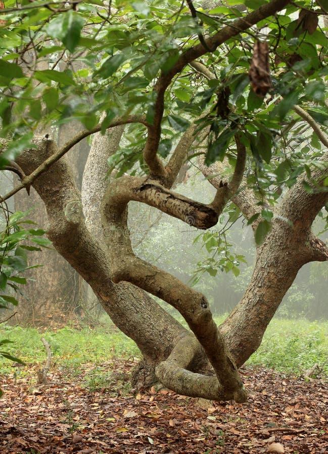 Verdraaide avocadoboom stock afbeelding