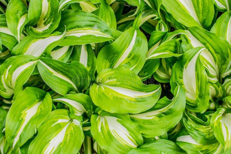Verdraaide bladeren met groene vlekken royalty-vrije stock foto's