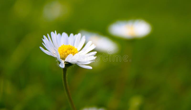 Verdraaide Daisy stock foto
