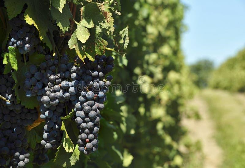Verdragsdruif in wijnstok royalty-vrije stock afbeelding