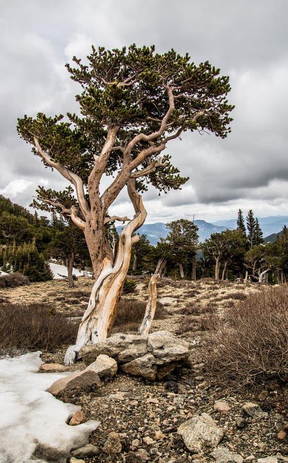 Verdrehte bristlecone Kiefer im Wildnisbereich Mt Evans-Wildnisgebiet stockbilder