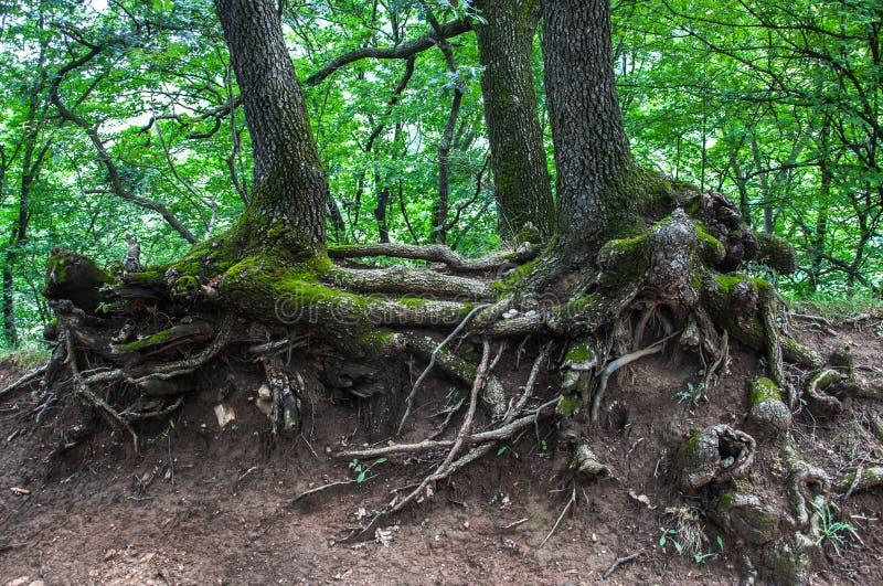 Verdrehte Wurzeln von alten Bäumen stockbild