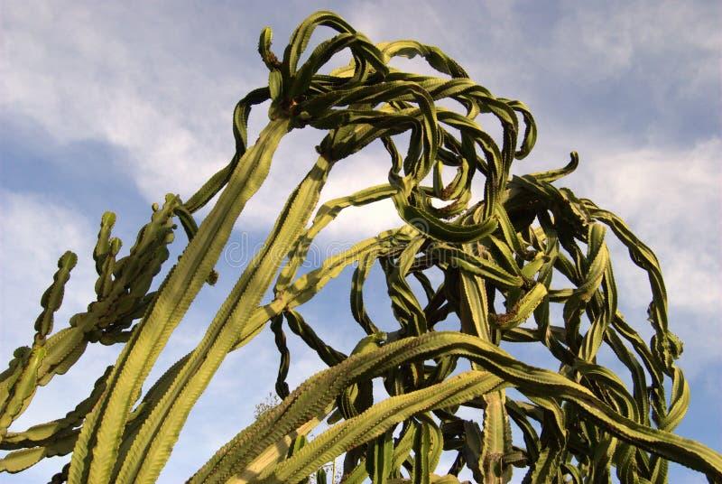 Verdrehter Kaktus gegen Himmel. stockbild