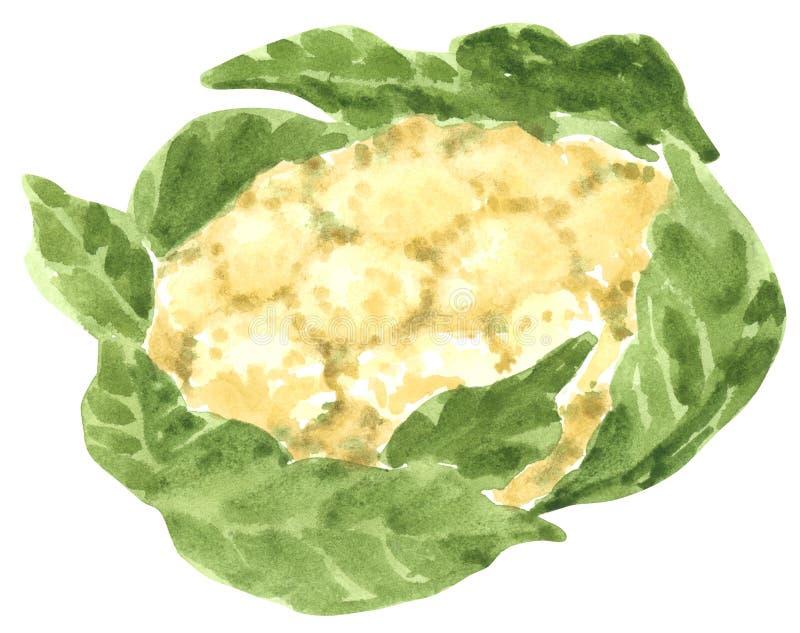 Verdura, coliflor, ejemplo exhausto de la acuarela de la mano ilustración del vector