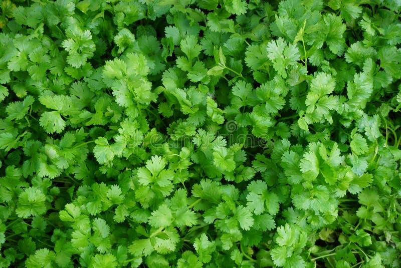 verdura de hojas verde fresca del coriandro imagenes de archivo