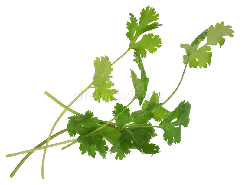 Verdura del Cilantro immagine stock