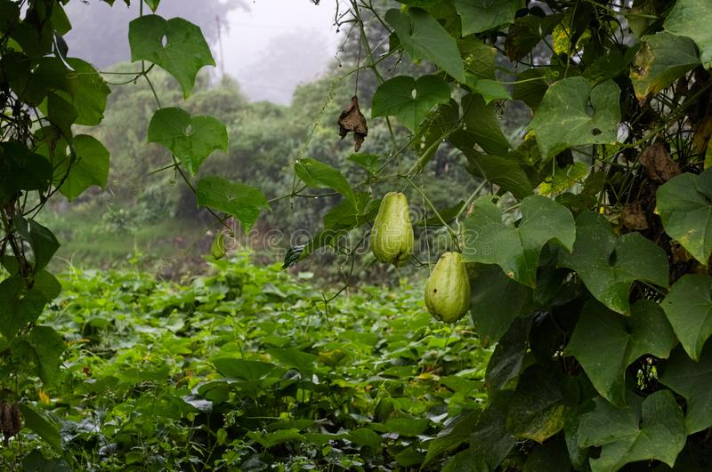 Verdura della zucchina centenaria sull'azienda agricola fotografia stock