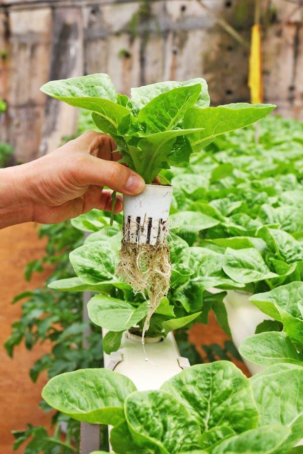 Verdura di coltura idroponica della tenuta della mano fotografia stock