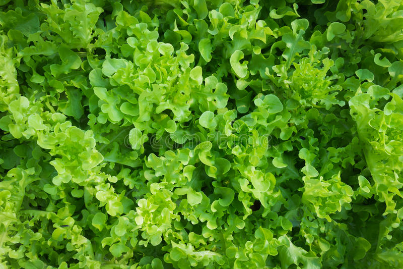 Verdura idroponica organica fotografie stock