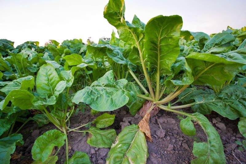 Verdura madura de las remolachas crecer en un campo de granja en el follaje verde rico, sol caliente del verano fotografía de archivo