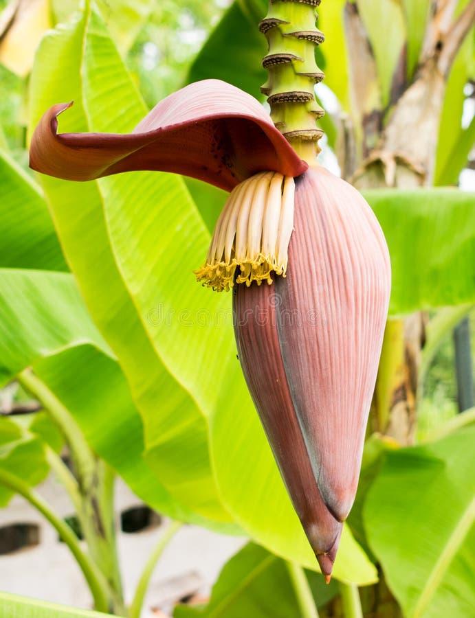 Verdura tropical del árbol del flor del plátano foto de archivo