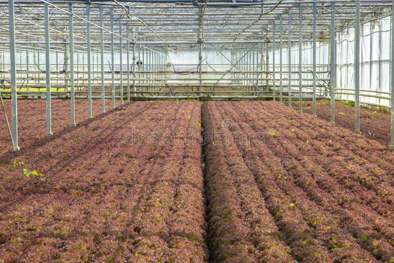 Verduras cultivadas en un invernadero, un ecosistema artificial para aumentar la producción foto de archivo
