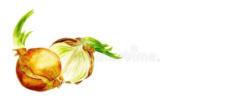 Verduras de la acuarela Fije las cebollas en un fondo blanco Corte la cebolla ilustración del vector