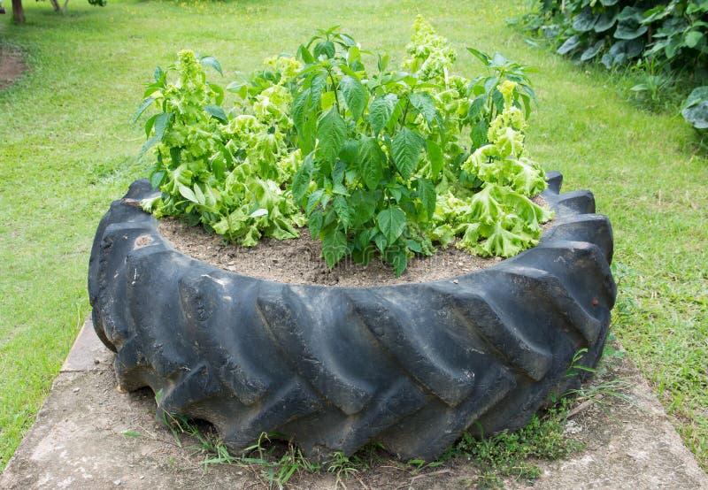 Verduras del cultivo en pote grande del neumático fotografía de archivo