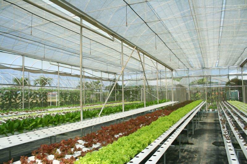 Verduras del hidrocultivo en invernadero imagen de archivo libre de regalías