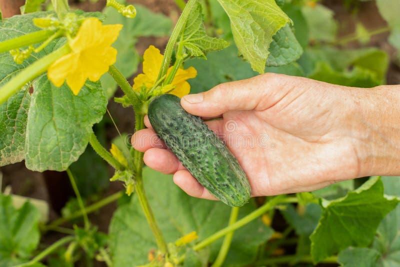 Verduras frescas del control de la mano de la mujer del pepino fotografía de archivo