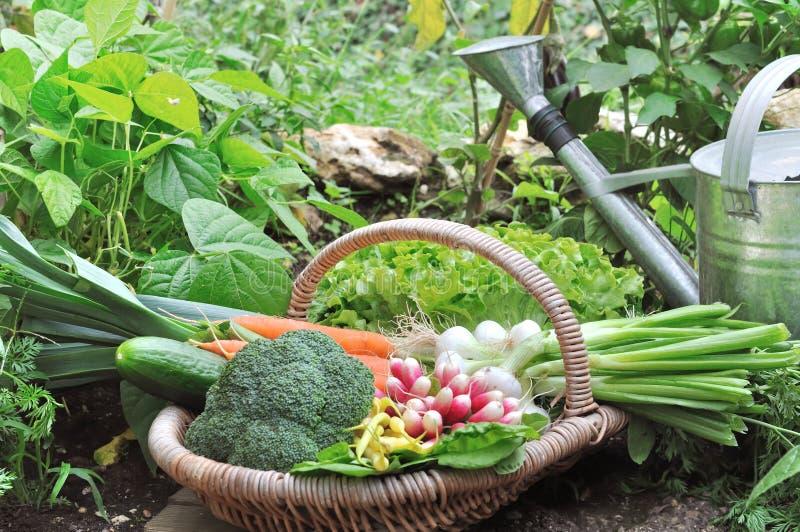 Verduras frescas en cesta en un huerto imagen de archivo