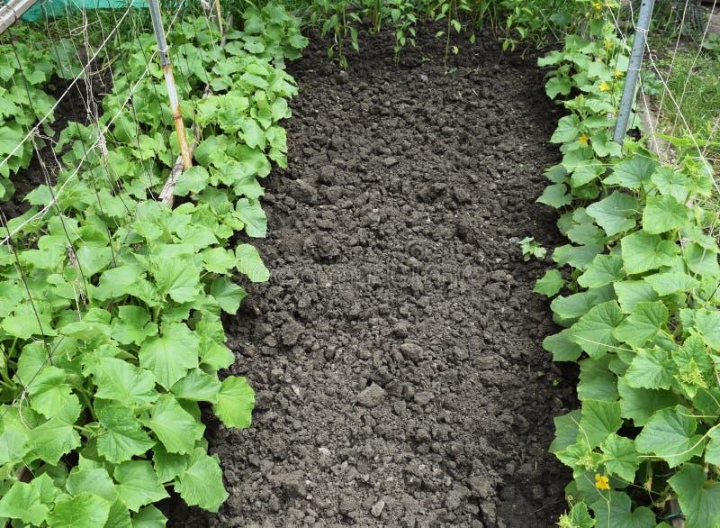 Verduras orgánicas crecientes fotografía de archivo