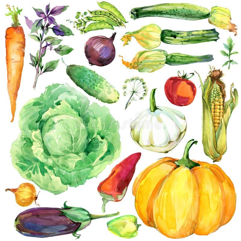 Verduras orgánicas crudas clasificadas Ilustración de la acuarela fondo de las verduras y de las hierbas de la acuarela ilustración del vector