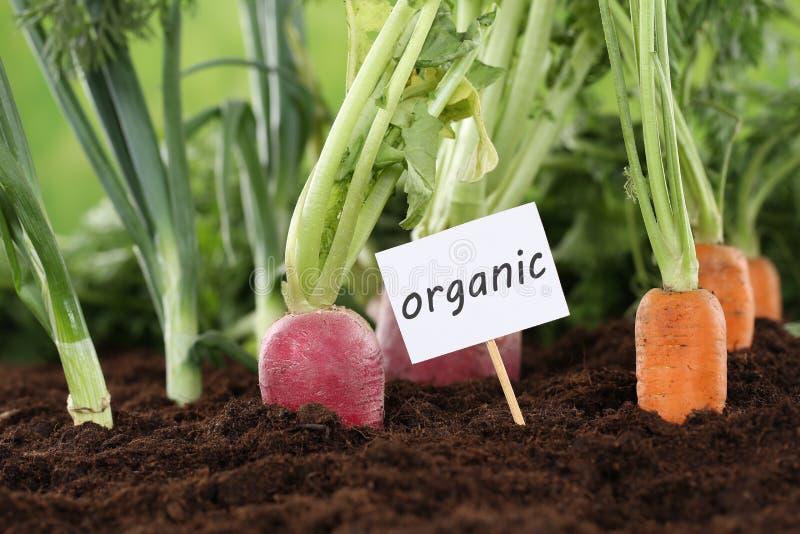 Verduras orgánicas de la consumición sana en jardín fotos de archivo