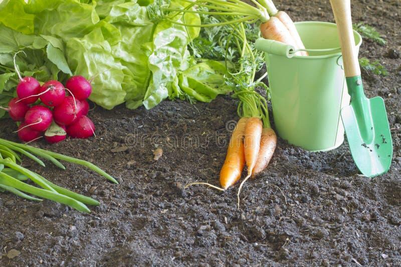 Verduras orgánicas de la primavera fresca en el suelo en el jardín fotografía de archivo