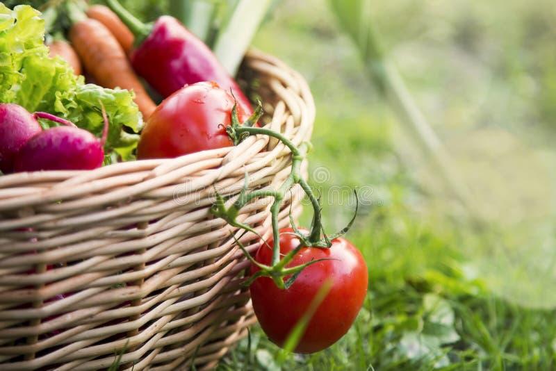 Verduras orgánicas frescas en una cesta al aire libre en el jardín, cosechando recientemente verduras orgánicas en la cesta, orgá imagen de archivo