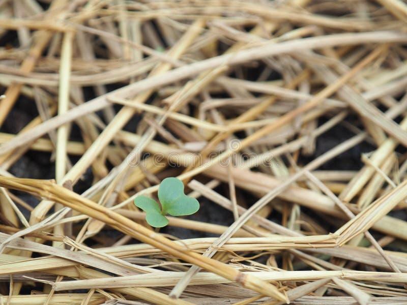 Verduras recién nacidas dos pequeñas hojas tan lindas con la paja amarilla imagenes de archivo