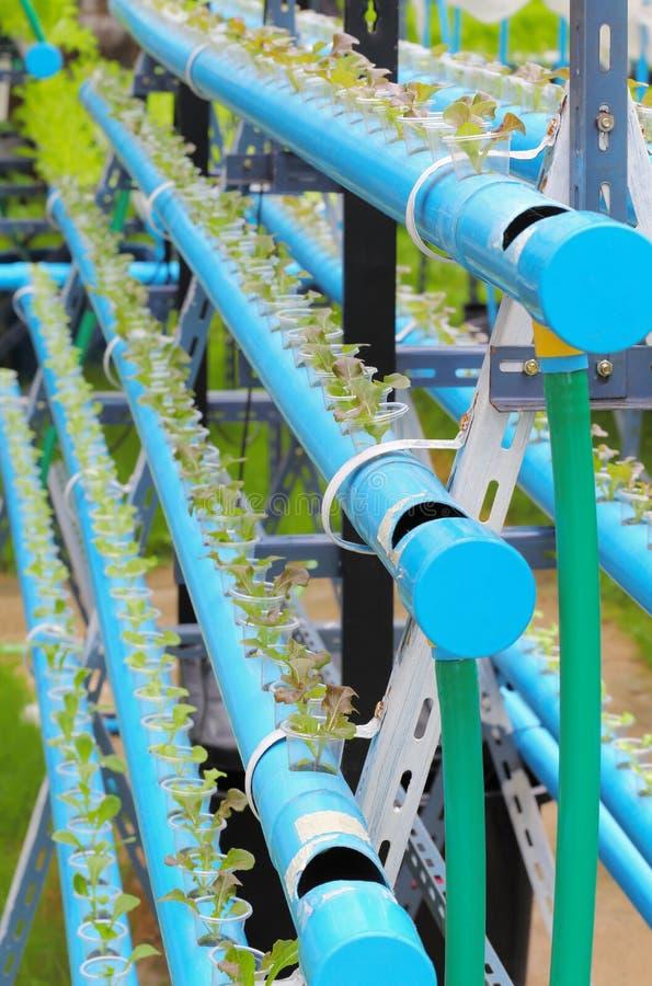 Verduras verticales del hidrocultivo de la lechuga del roble rojo fotos de archivo