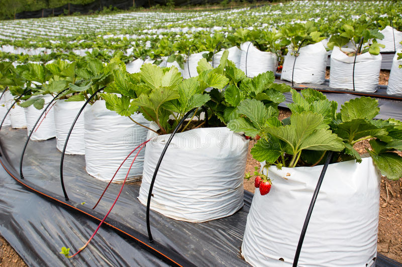 Verdure crescenti di piantatura delle fragole immagini stock