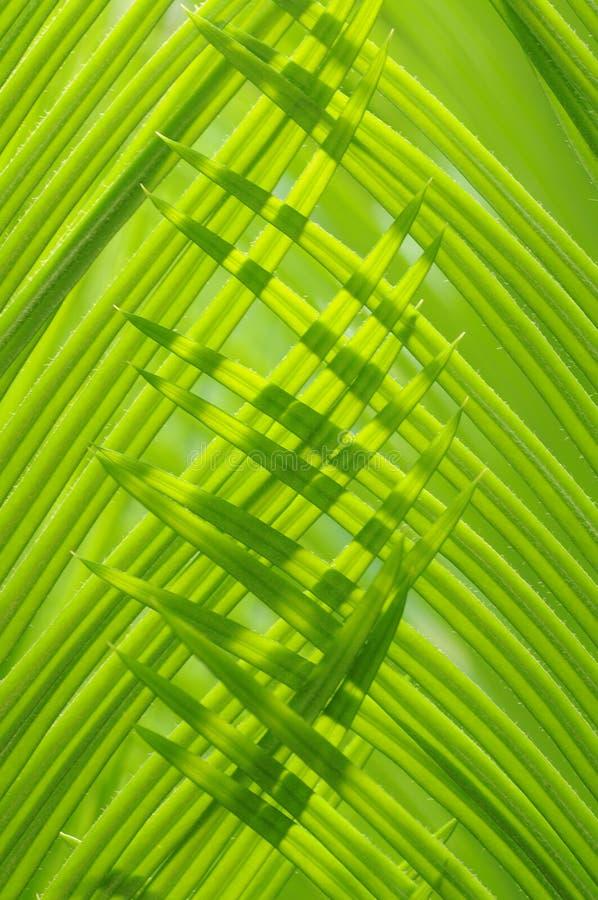 The verdure cycad leaves