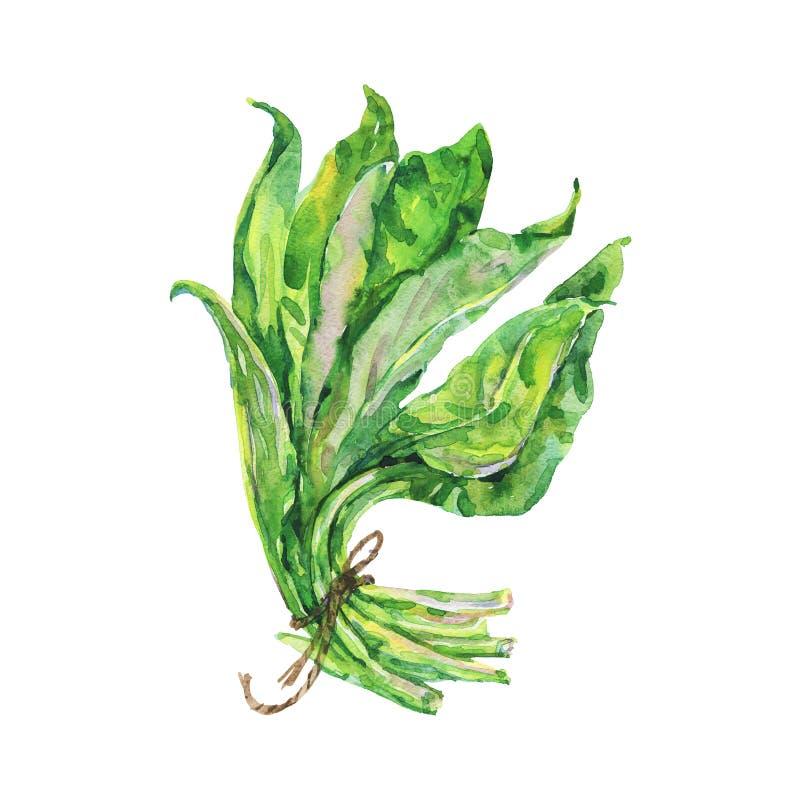 Verdure d'épinards d'aquarelle illustration libre de droits