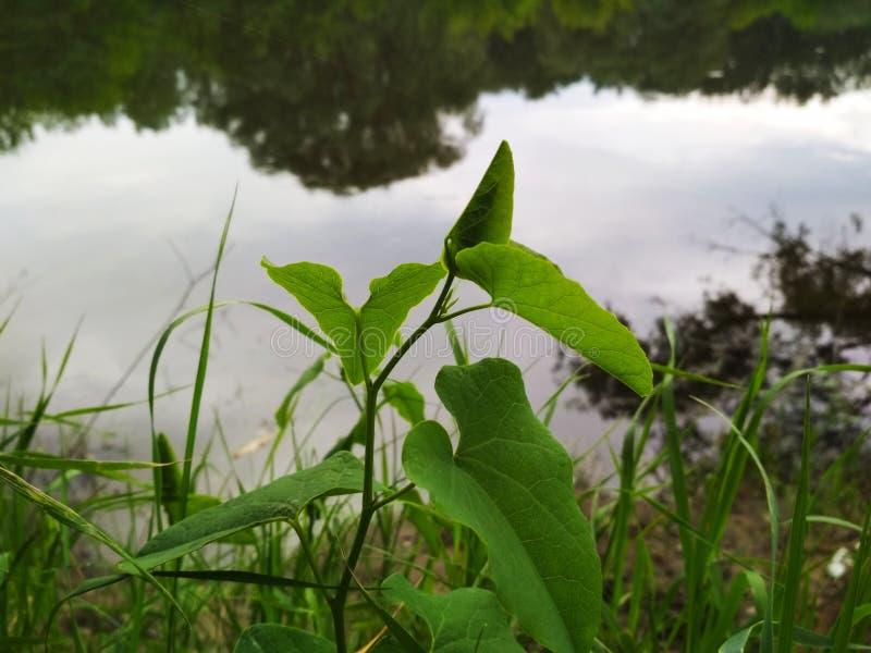 Verdure, herbe, usines, rivière, jour nuageux photos libres de droits