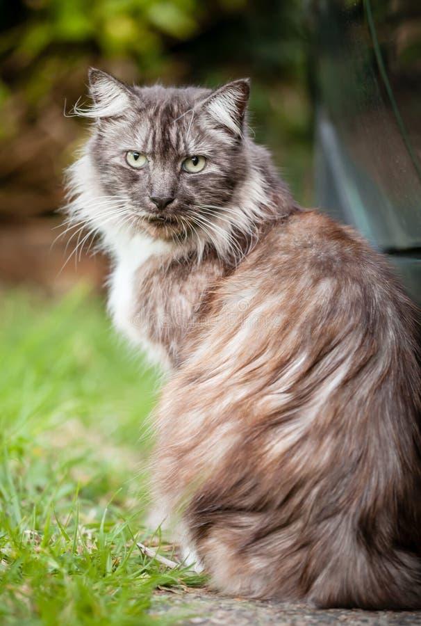 Verdwaalde Bruin, Gember en Witte Langharige Cat Sitting stock foto