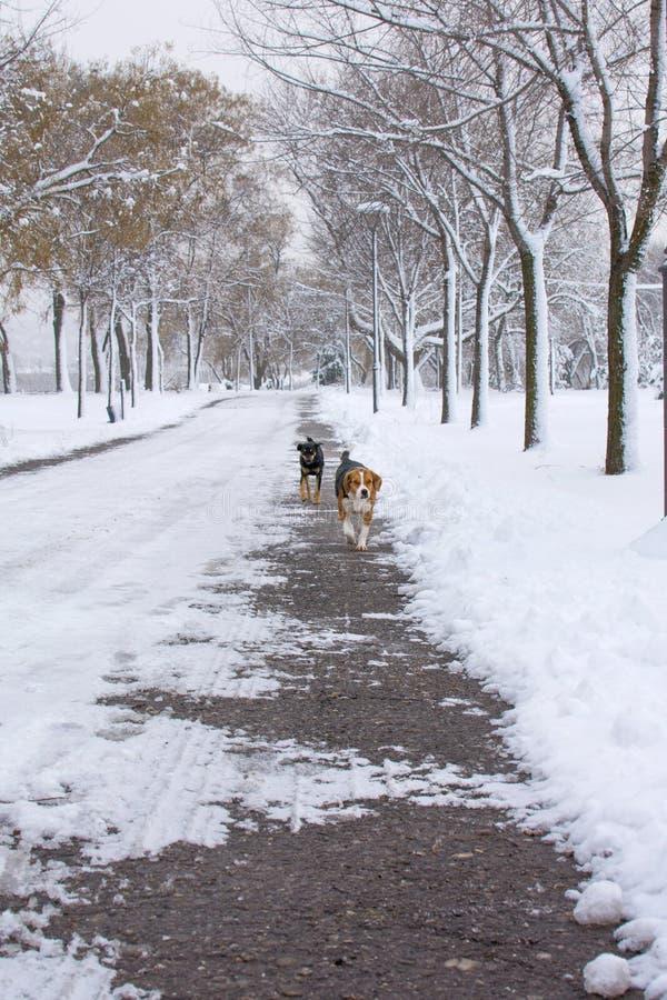Verdwaalde honden die in de sneeuw lopen royalty-vrije stock fotografie