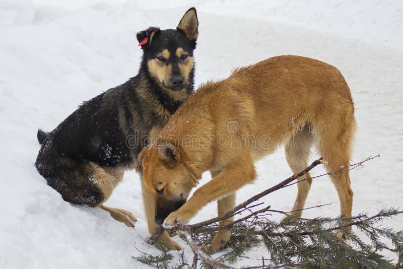 Verdwaalde honden met spaanders op hun oren, rood-zwarte en tan honden die in de winter met stok spelen Mooie yardrashonden royalty-vrije stock foto's