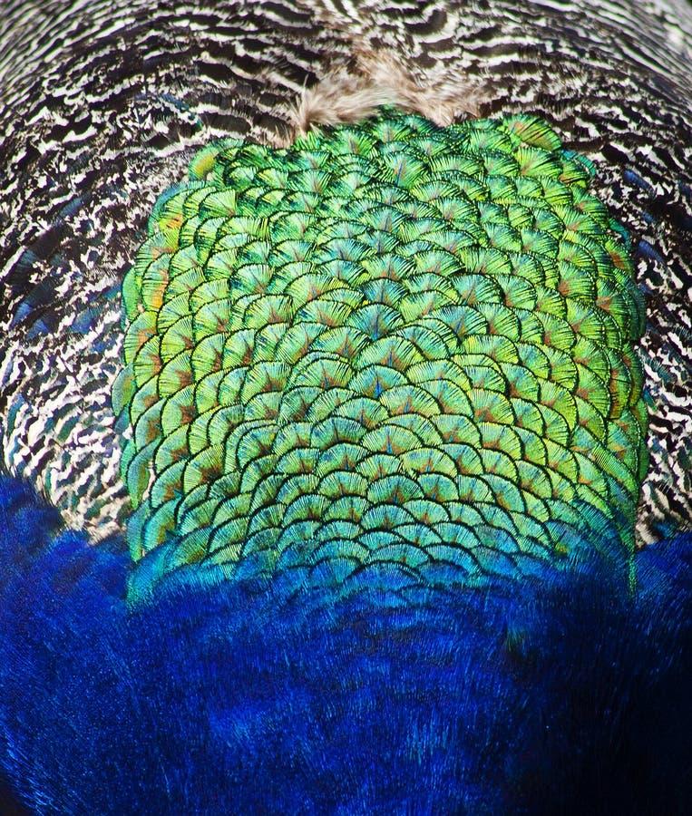 Veren op de rug van een pauw royalty-vrije stock afbeeldingen