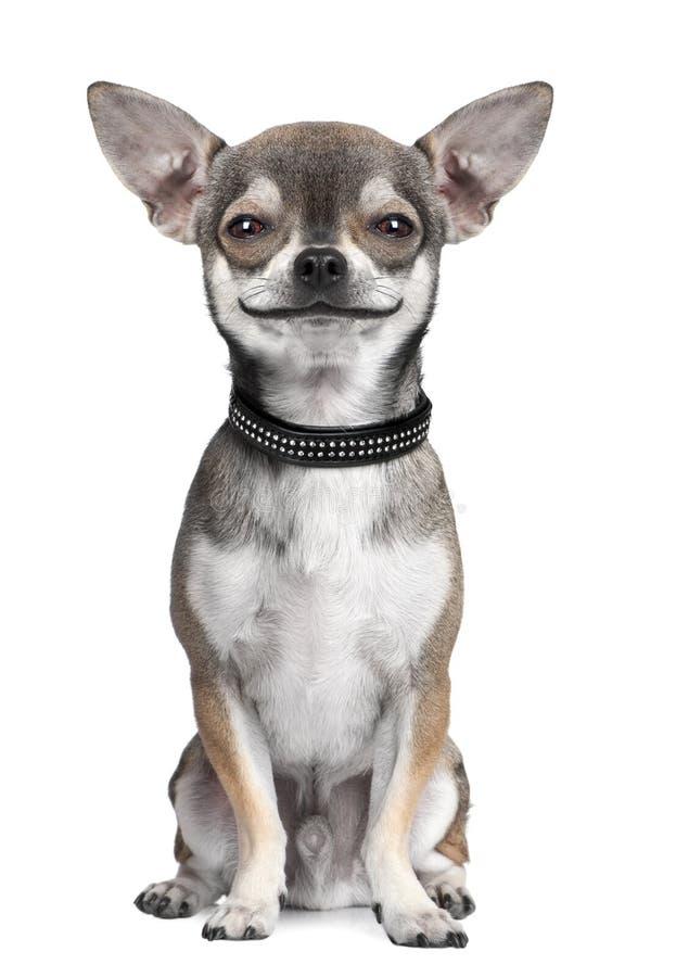 Verfolgen Sie (Chihuahua) das Betrachten der Kamera und lächeln lizenzfreie stockbilder