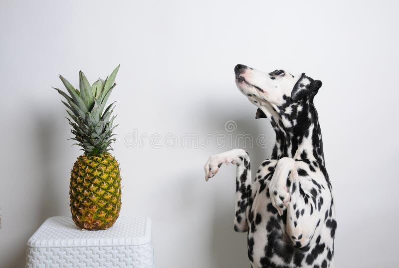 Verfolgen Sie Dalmatiner auf Hinterbeinen und Ananas auf einem weißen Hintergrund lizenzfreie stockbilder
