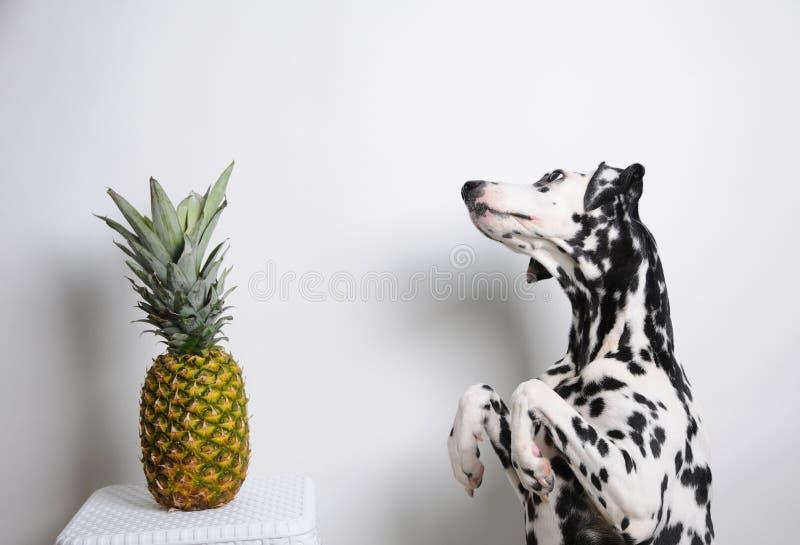 Verfolgen Sie Dalmatiner auf Hinterbeinen und Ananas auf einem weißen Hintergrund lizenzfreies stockbild
