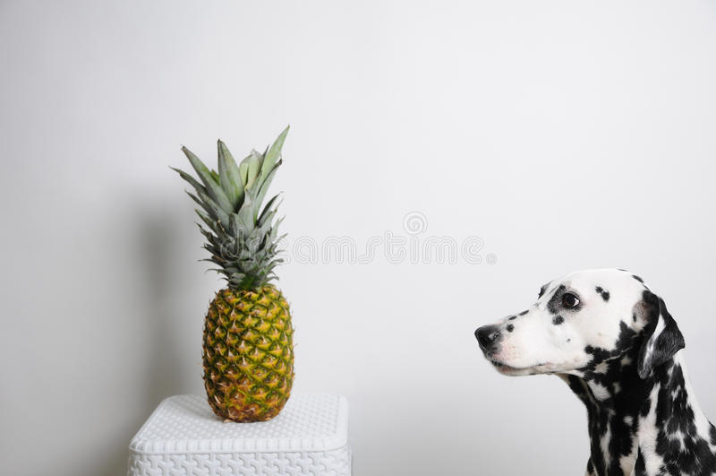 Verfolgen Sie Dalmatiner und Ananas auf einem weißen Hintergrund Betrachtet die Frucht lizenzfreies stockfoto