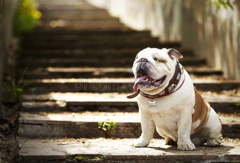 Verfolgen Sie die englische Bulldogge, die auf Granitschritten in der Sonne sitzt stockbilder