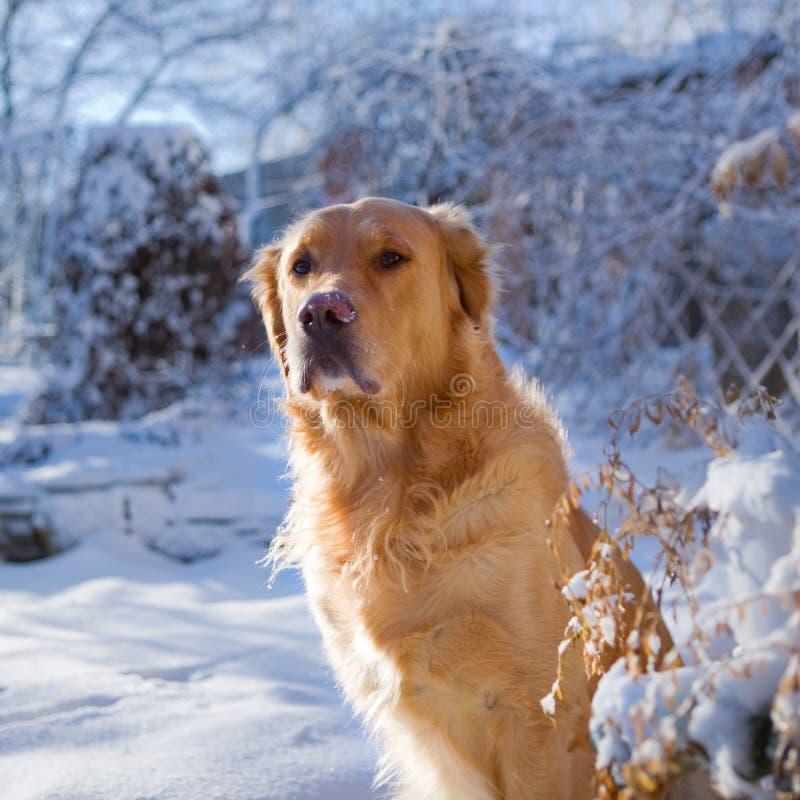 Verfolgen Sie einen Apportierhund lizenzfreies stockbild