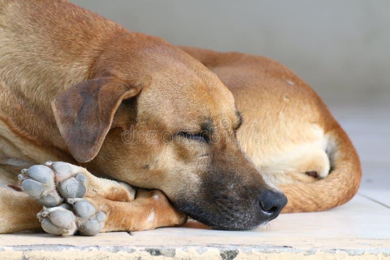 Verfolgen Sie Kranken, Schlafhund sich entspannen allein, braunen Hund schläft, brauner Hund ist Schlafkranker lizenzfreie stockfotos