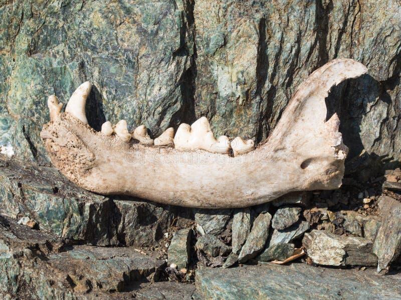 Verfolgen Sie ` Sunteres Jawbonemit Einigen Zähnen Auf Felsen ...