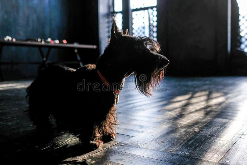 Verfolgen Sie schwarzes Terrier, auf dem schwarzen Boden in der Sonne und tonen stockbild
