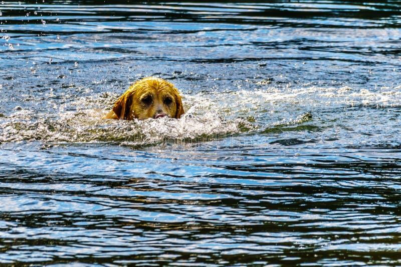 Verfolgen Sie Schwimmen im Stake See nahe Kamloops-Britisch-Columbia, Kanada lizenzfreie stockfotografie