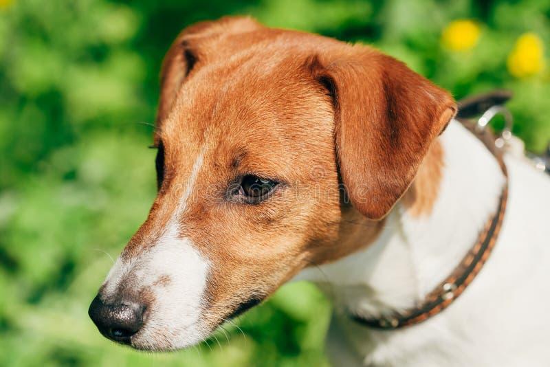Verfolgen Sie Steckfassungsrussel-Terrier auf Hintergrund des grünen Grases lizenzfreies stockbild