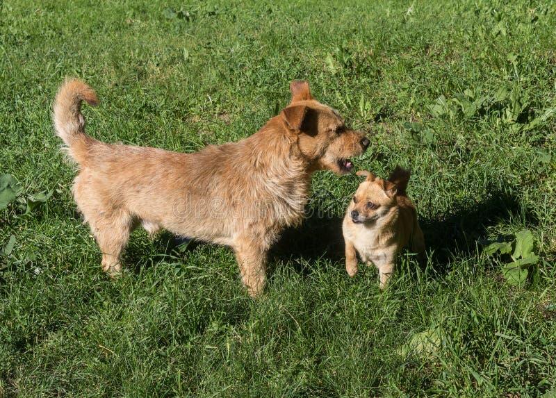 Vergadering van twee rode honden royalty-vrije stock fotografie