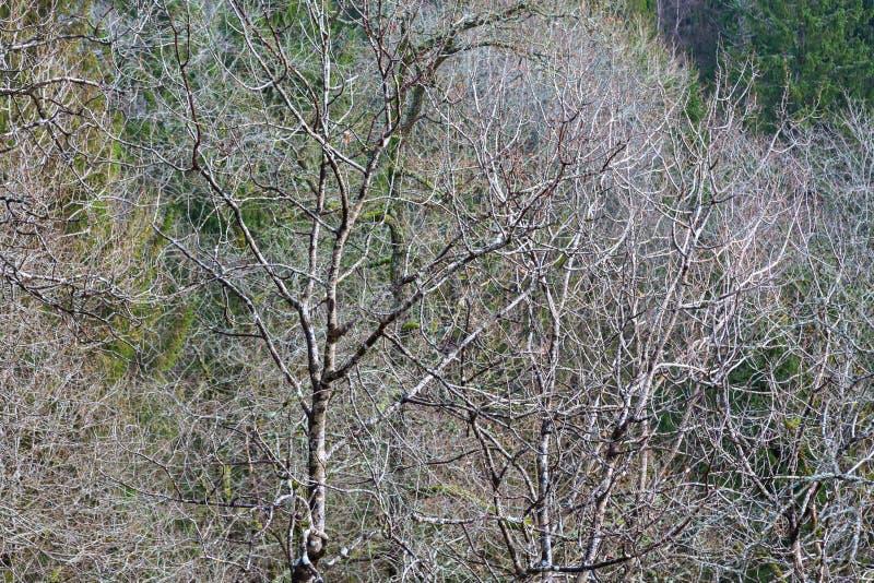 Vergankelijk bos met naakte bomen royalty-vrije stock foto