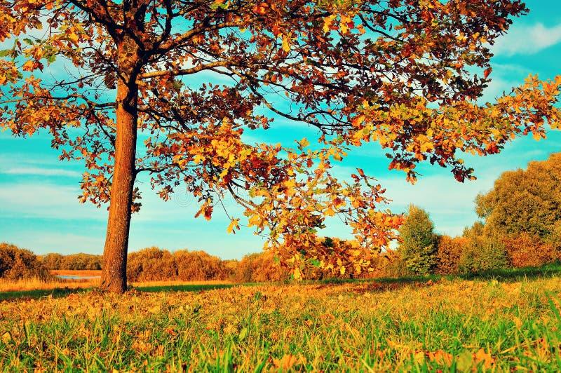 Vergeelde de herfst vergankelijke eik op de herfst zonnig gebied De herfstlandschap met oranje de herfst eiken boom stock foto